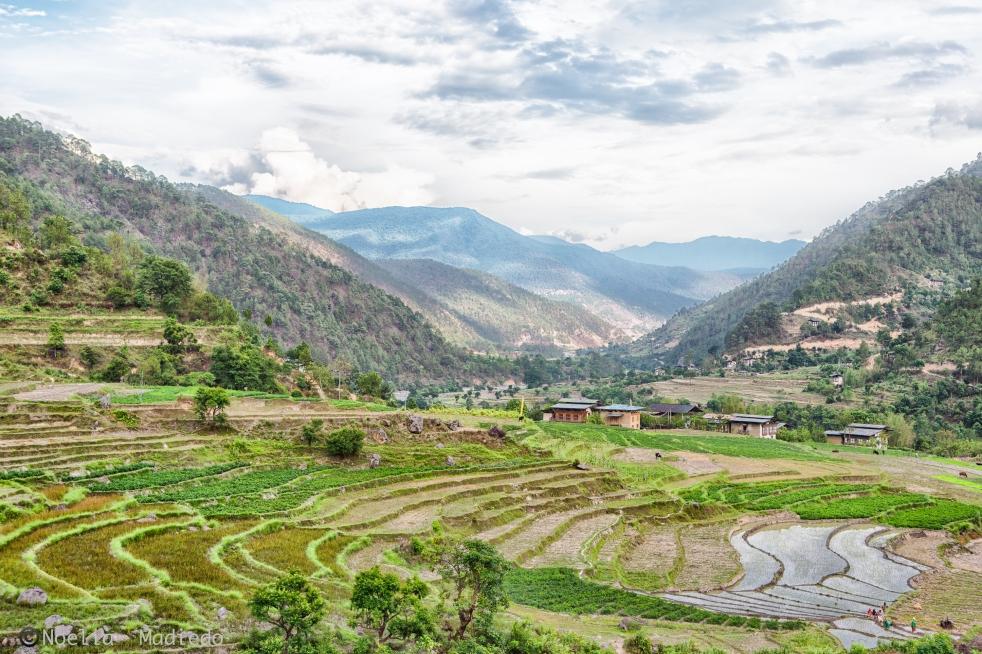 Landscape in Punakha rice fields.