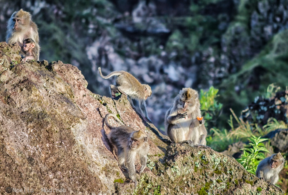 Wild monkeys around Mount  Batur